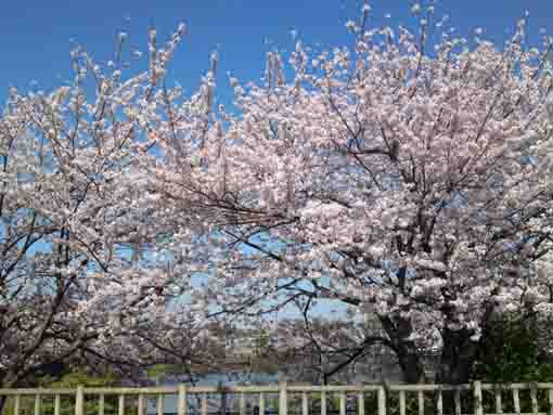 full blooming cherry blossoms in the park