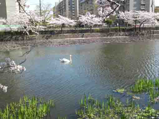 a swan going in cherry blossoms