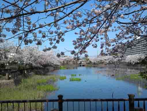 sakura reflected on the pond