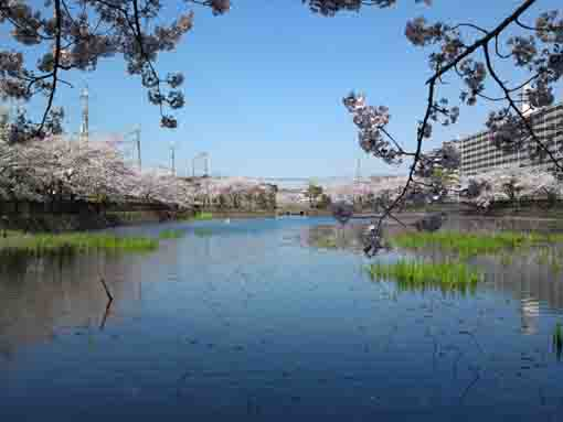 cherry blossoms over the pond