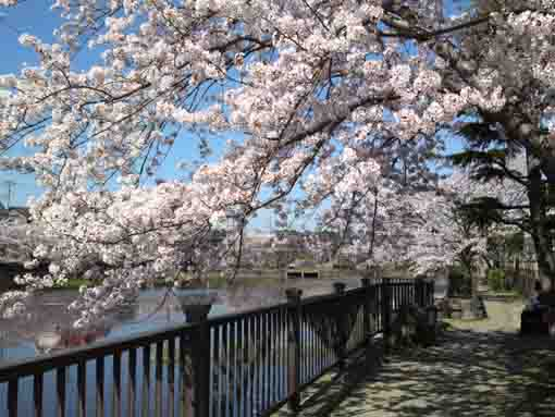 cherry blossoms over the path by the pond