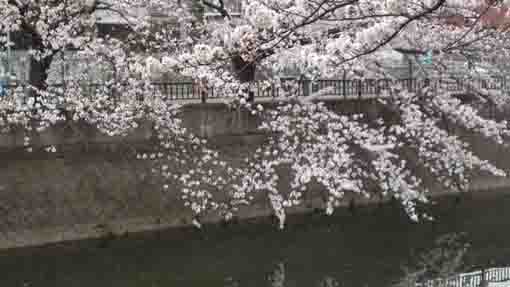 cherry blossoms across mama river