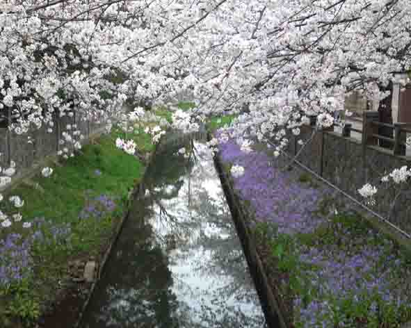 cherry blossoms along mama river