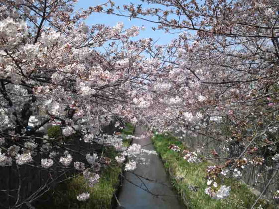 cherry trees along Mamagawa River