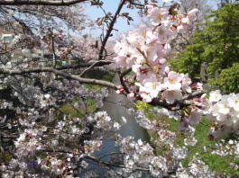 cherry blossoms above Mamagawa River