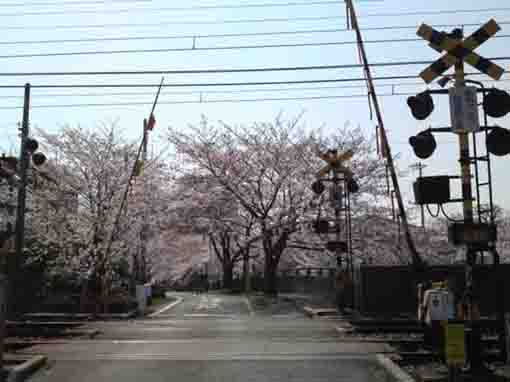 cherry blossoms over a crossing