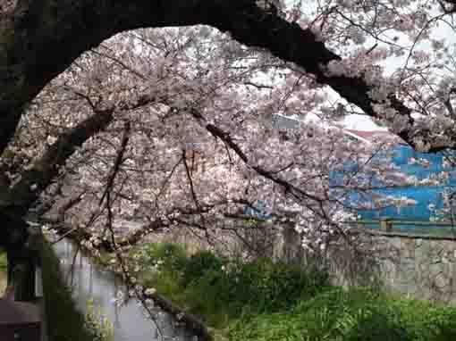 Mamagawa river below cherry trees