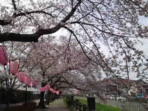 sakura trees along Mamagawa river