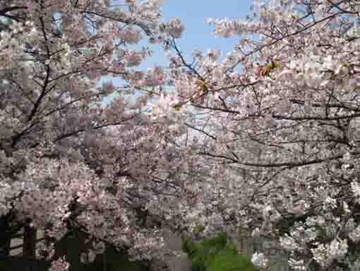 cherry blossoms across Mamagawa river