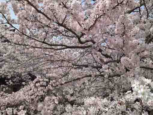 full blooming cherry blossoms