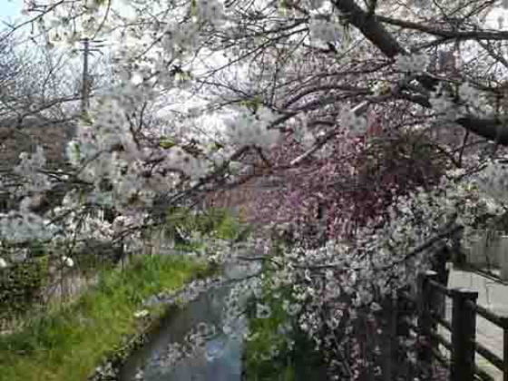 cherry trees lines along Mamagawa river