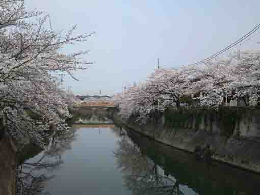 cherry blossoms from Yamatobashi Bridge
