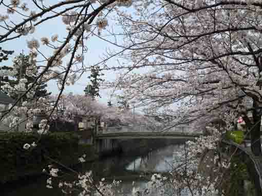 cherry blossoms and the railway