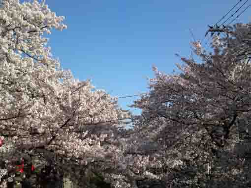 sakura blossoms like clouds on Mamagawa