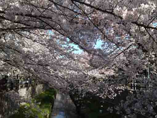 Mamagawa covered with cherry blossoms