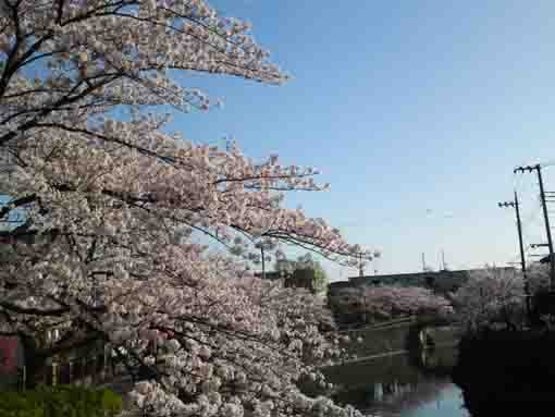 cherry blossoms from Kitakatabashi Bridge