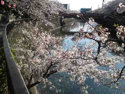 cherry trees appeared on the bank