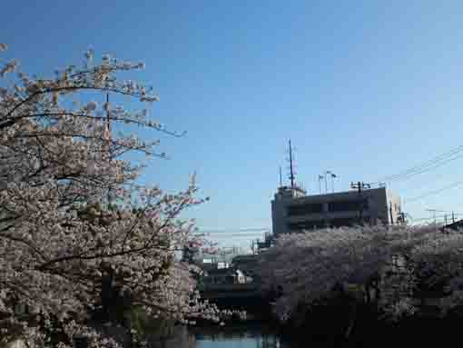 sakura trees like water falls