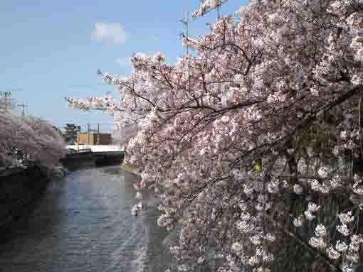cherry blossoms and the bridge