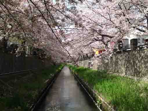 cherry trees over Mamagawa River