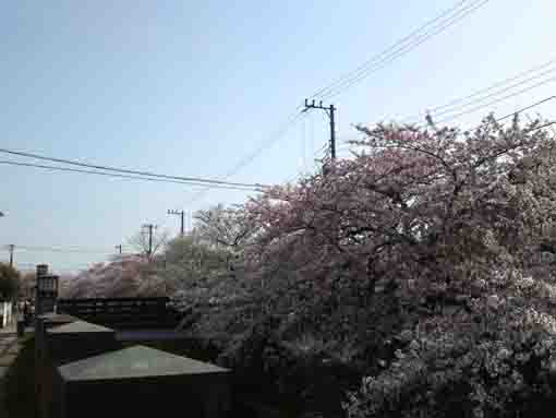 cherry blossoms and Sankakubashi Bridge