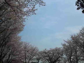 cherry blossoms surrounding the sky