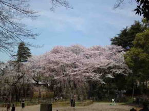 cherry blossoms in the north of Fushihime