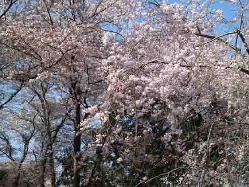 cherry blossoms in Mamasan Guhoji Temple