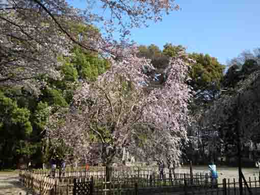 the whole view of the weeping cherry tree