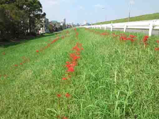 red spider lilies blooming near Shinozaki Park