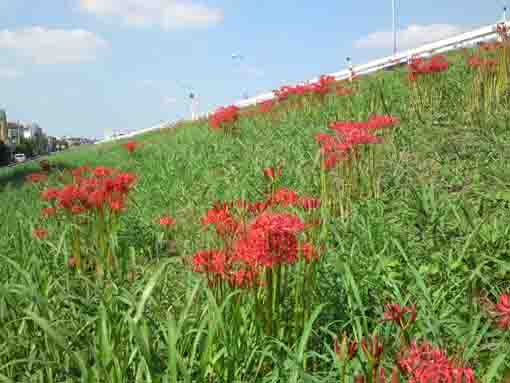 red spider lilies on the Edogawa Bank