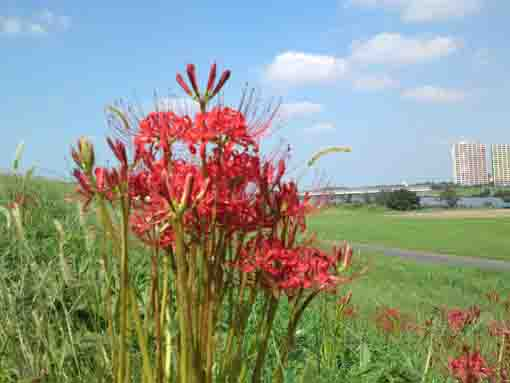 red spider lilies bloom to the sky