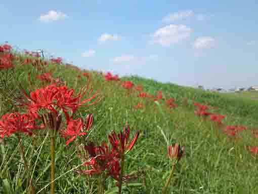 red spider lilies under the blue sky