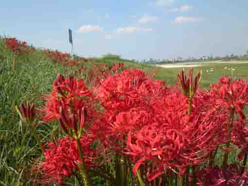the red spider lilies under the blue sky
