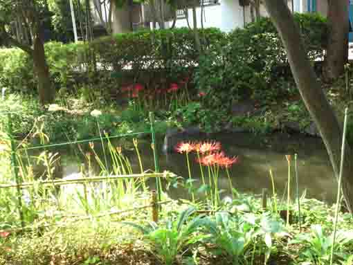 red spider lilies blooming near the water