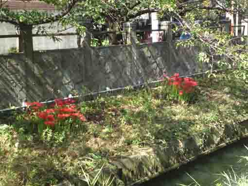 red spider lilies on the bank of Mamagawa