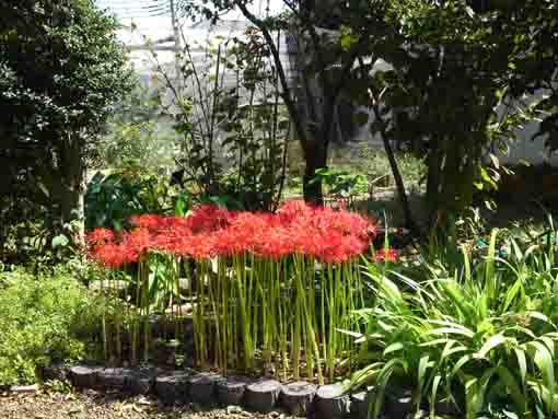 the sun shining on the red spider lilies