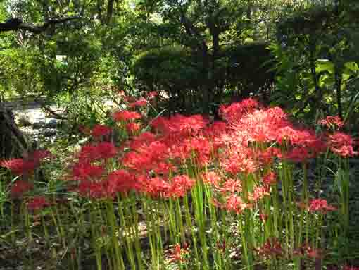 red spider lilies in the woods