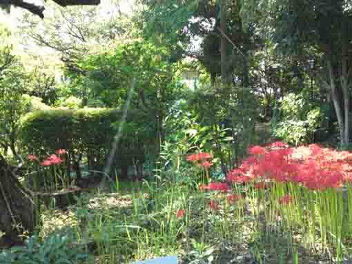 ajisai blossoms behind red spider lilies