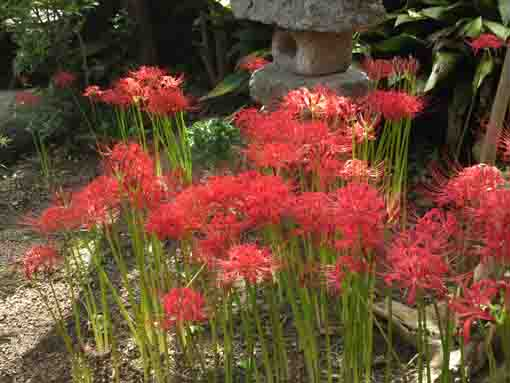 red cluster amaryllis in Myouonji