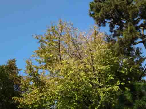 tips of gingko trees in the blue sky