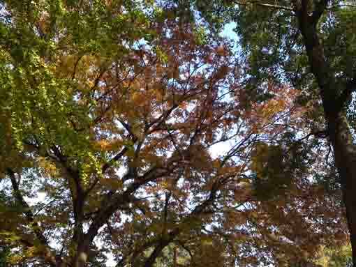 gingko and zelkova leaves in the sky