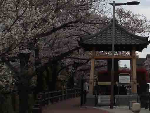 Matsura no Kane under Cherry Blossoms
