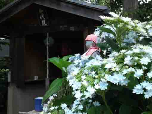 hydrangeas in Miyonoin Shrine