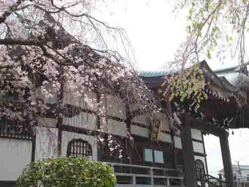 the cherry blossoms in Entonji Temple