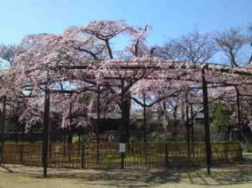 the cherry blossoms of Myogyoji Temple