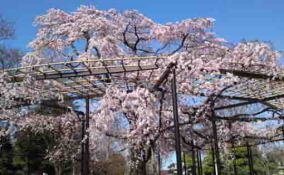 the drooping cherry blossoms