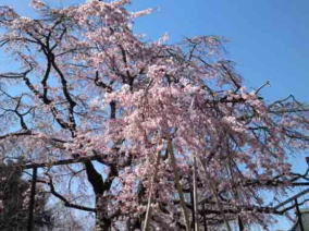 cherry blossoms in Barakisan Myogyoji