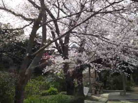 several kinds of sakura in Myogyoji
