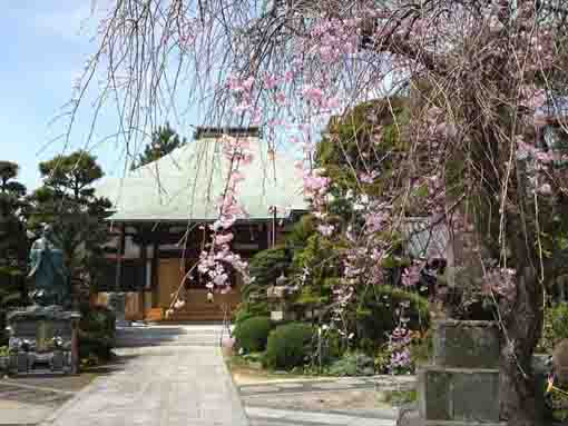 the weeping cherry tree and the main hall